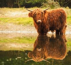 Schotse hooglander - Bos taurus (Michiel Kok) Tags: schotsehooglander bostaurus stier highlandcow olympusomdem5ii 124028 castricum