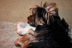 Flo Yorkie Poo Dog having a rest before dinner (@oakhamuk) Tags: flo yorkiepoo dog having rest before dinner