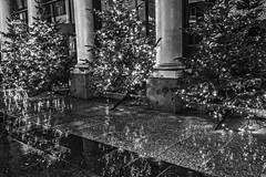 Regen (Renate Bomm) Tags: canoneos6d bw schwarzweis tannenbaum roncalliplatz kln cologne regen nsse ef24105mmf4l advent lights weihnachtszeit lichter