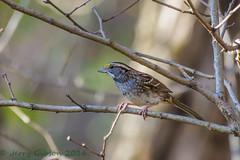 Shenandoah National Park White-throated Sparrow 10-20-2016 (Jerry's Wild Life) Tags: shenandoah shenandoahnationalpark songbird sparrow virginia whitethroated whitethroatedsparrow