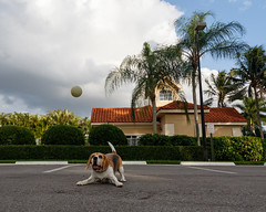 Beagle Brody-4024 (Don Burkett) Tags: animal beagle brody canine dog hound outdoor puppy