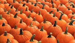 Pumpkin Ready (chantsign) Tags: pumpkins rows stems detail