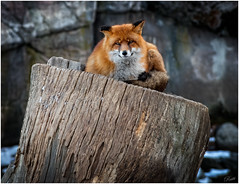 Foxy Loxy (mad_ruth) Tags: pentax k1 skansen fox zoo wildlife nature greatphotographers