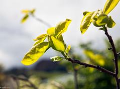 161026 112035 (friiskiwi) Tags: spring flowers nelson newzealand nz