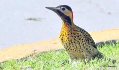 DSC_0580 (rachidH) Tags: birds oiseaux woodpecker pic greenbarredwoodpecker colaptesmelanochloros picvertetnoir carpinterorealnorteo bosquesdepalermo palermo woods buenosairesecologicalreserve reservaecolgicadebuenosaires reserve national park buenosaires argentina rachidh nature