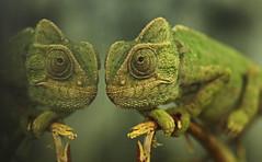 chameleon artis JN6A2450 (j.a.kok) Tags: kameleon chameleon artis