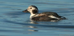 Long-tailed Duck Pennington 16ig6077 (Pauline & Ian Wildlife Images) Tags: longtailed duck pennington flash