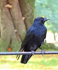 Crow (PhotoLoonie) Tags: crow carrion britishbird wildbirds gardenbird ukgardenbird ukbirds wildbird bird nature wildlife britishwildlife ukwildlife