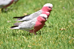 Galahs (Luke6876) Tags: galah cockatoo parrot bird animal wildlife australianwildlife