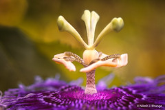 Tree of Passiflora (bnilesh) Tags: abstract beautiful beauty core details flora flower fresh macro nature passiflora patterns pollen rakhi shapes soft structure tree