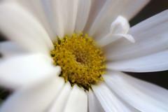 Margarita - Daisy (Daniel Escudero de Flix) Tags: margarita daisy flor flores flower flowers bellis perennis bellisperennis macro extensiontubes macrophotography 50mm eos 50d canon macrofotografa