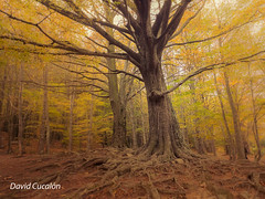 Tree and roots (David Cucalón) Tags: davidcucalon cucalon arboles tree raices roots autumn otoño montseny bosque forest