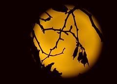 Moon Art By Simpson Bart (Master Of Pixels :o)) Tags: croatia  hrvatska november 2016 zadar supermoon supermjesec  yashajakovsky canonpowershotsx60hs artphoto umjetnikafotografija  punimjesec   fullmoon  punmesec mesec supermesec    mjesec lie grane granice leafage foliage list grana leaf branch branches    night no  silueta   silhouette studeni nonafotografija nightphoto