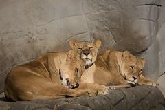 3 Lwen (DeanB Photography) Tags: lwen hagenbeck zoo hamburg raubtiere tier tiere fleischfresser gefhrlich