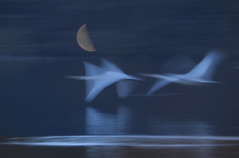 Gecko/ moonlight_7DWF  Sunday Fauna (keiko*has) Tags: themoon lake swan fancy compositephotograph