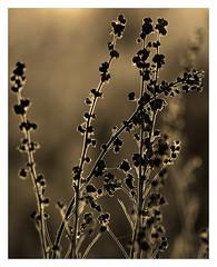 AR164613-B (-AR-) Tags: tegenlicht backlight plant platen plants struik bush spuimondingwest voorneputten achtergrond background stengel stengels stem stems natuur nature