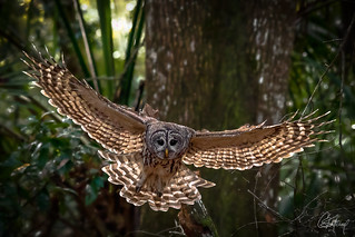 Barred Owl on the Hunt