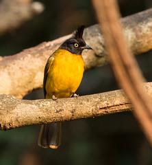IMG_1781  Black-crested Bulbul (ashahmtl) Tags: blackcrestedbulbul bulbul pycnonotusmelanicterus kaengkrachannationalpark phetchaburiprovince thailand
