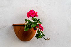 Red geranium flower in the pot on whitewashed wall (yuliakupeli) Tags: december decorate decoration flower flowerpot outdoor outside wall white whitewashed