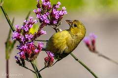 Lesser Godlfinch (Bob Gunderson) Tags: birds california finches fortmason lessergoldfinch northerncalifornia sanfrancisco spinuspsaltria
