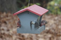 Cleared for take off (rkramer62) Tags: rkramer62 puremichigan tuftedtitmouse backyardbirds