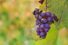 Nach der Lese ist vor der Lese (Fotos4RR) Tags: weinlese traubenlese lese harvest harvesting wineharvest weintraube vine grapes grape weintrauben trauben schilcherland steiermark styria österreich austria