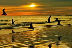 Fim de dia... (Zéza Lemos) Tags: gaivotas algarve aves areia ave asas água portugal praia pordesol puestadelsol mar water sunset sol selvagem vilamoura arlivre