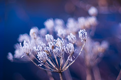 Icy beauty (Karsten Gieselmann) Tags: abstrakt blau bokeh em5markii eis elemente farbe frost jahreszeiten lila microfourthirds natur olympus takumar50mmf14 vintagelens wasser weis wetter winter abstract blue color elements ice impression kgiesel m43 mft nature purple seasons violett water weather white apertureblending