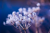 Icy beauty (Karsten Gieselmann) Tags: abstrakt blau bokeh em5markii eis elemente farbe focusblending frost jahreszeiten lila microfourthirds natur olympus takumar50mmf14 vintagelens wasser weis wetter winter abstract blue color elements ice impression kgiesel m43 mft nature purple seasons violett water weather white