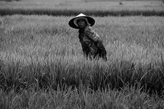 Campesinos trabajando en arrozales (fns-k) Tags: agricultor agricultura arroz asia bali blancoynegro campo campos cereales españa europa fotografia gusto indonesia islasbaleares mallorca sentidos