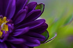 Purple (kellimatthews) Tags: flower macro purple bright