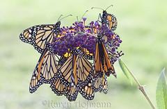 Bunch O' Monarchs (chevymom0) Tags: macro nature beautiful canon butterfly bug wings transformation michigan caterpillar monarch bloom environment milkweed metamorphosis downriver waynecounty canoneosdigitalrebelxti monarchwaystation2408