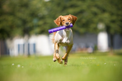 Wee, purple toy! (Marie Balstad) Tags: summer dog norway toy golden warm purple working running retriever