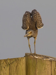 Yellow-crowned Night Heron, juvenile (AllHarts) Tags: gulfofmexico ngc npc baystlouisms mississippigulf avianexcellence juvenileyellowcrownednightheron naturesspirit naturescarousel