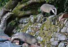 two badgers............ (Suzie Noble) Tags: food garden badger badgers compostbin strathglass struy