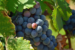 Grapes on the vine in sun (elias_daniel) Tags: france green nature purple wine grapes vin agriculture