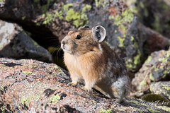 September 6, 2015 - With winter approaching, the Pika on Mount Evans are hard at work. (Tony's Takes)