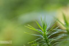 Stacheln im Tau (c_hancke) Tags: wood autumn flower macro nature water canon und waterdrop pflanzen blumen ground christian leav blumenundpflanzen hancke lemonmilkde christianhancke