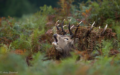 Stag (andrewswinbank) Tags: autumn red wild fern nature animals seasonal deer antlers rut bellowing wildlfe