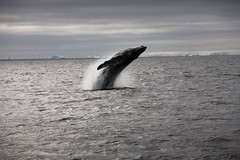 Humpback Whale, near the Neumayer Strait, Antarctica 2006