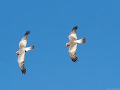 Galahs in Flight (Vas Smilevski) Tags: bird birds birding parrot australia nsw birdsinflight parrots bif galah australianbirds westernsydney eolophusroseicapillus cacatuidae australianparrots mc14 olympusomdem1 mzuiko40150mmf28pro