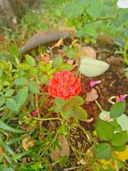 20151110_190517_HDR (Rodrigo Ribeiro) Tags: nature rose garden gardening natureza rosa jardim jardinagem