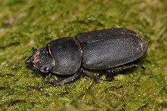 Dorcus parallelipipedus (Linnaeus, 1758). Hembra (Jess Tizn Taracido) Tags: coleoptera polyphaga scarabaeiformia scarabaeoidea lucanidae dorcusparallelipipedus