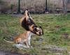 Jump - 4 (Gjesdal.org) Tags: detail norway zoo norge nikon no clarity sigma os apo dg kristiansand topaz dyrepark dyreparken hsm denoise d810 dyreparkenikristiansand vestagder f563 150500mm topazdenoise sigma150500mmf563apodgoshsm topazdetail topazclarity