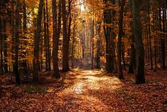 Autumn walk in the beech grove. (Kat-i) Tags: autumn trees light shadow sun nature forest bayern deutschland licht buchenwald laub herbst natur foliage kati sonne bume schatten katharina 2015 beechgrove niederaichbach nikon1v1