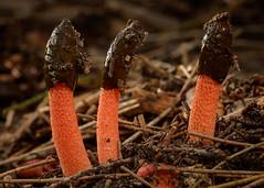 Phallus rubicundus (Stinkhorn family) (John van de Geyn) Tags: brighton australia fungi queensland phallus stinkhorn phallaceae arfp phallusrubicundus arffungi qrfp redarffungi subtropicalarf deckerpark stinkhornarffungi basidiomycetesarffungi
