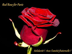 RED ROSE for PARIS FRANCE (swetlanahasenjäger) Tags: paris tribute macroelsalvador excellentsflowers thebestofmimamorsgroups greatshotss contacgroup mixofflowers frommetoyouwithlove rosesforeveryone sunrays5 13112015