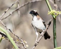 White-browed sparrow-weaver (Lluniau Clog) Tags: kenya greatriftvalley whitebrowedsparrowweaver plocepassermahali lakebaringo