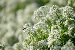 スイートアリッサム/ Lobularia hybrid (nobuflickr) Tags: flower nature japan kyoto sweetalyssum thekyotobotanicalgarden lobulariamaritima awesomeblossoms スイートアリッサム 庭薺 アブラナ科ニワナズナ属 tkp2 20151111dsc01428