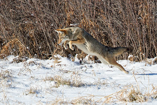 Coyote Hunts In Snow - Explored'